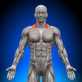 трапецевидные мышцы