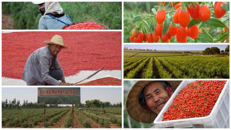 Плантация ягод годжи